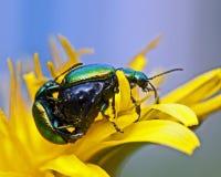 Dock leaf beetle, Gastrophysa viridula mating Stock Photo
