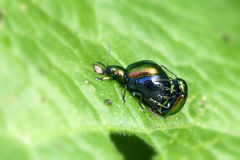 Dock leaf beetle - mating Stock Photos