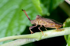 Dock leaf bug Stock Photos