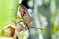 Dock leaf bug Royalty Free Stock Photo