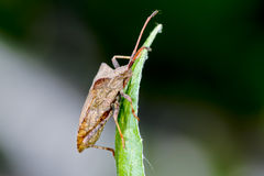 Dock leaf bug Royalty Free Stock Photos