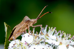 Dock leaf bug Stock Image