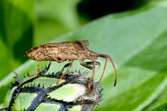 Dock leaf bug Royalty Free Stock Image