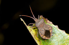 Dock leaf bug, coreus marginatus Stock Image
