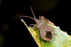 Dock leaf bug, coreus marginatus Stock Image