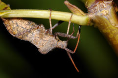 Dock leaf bug, coreus marginatus Royalty Free Stock Photography