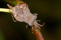 Dock leaf bug, coreus marginatus Royalty Free Stock Images