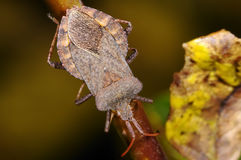 Dock leaf bug, coreus marginatus Royalty Free Stock Photo