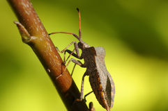 Dock leaf bug, coreus marginatus Stock Photography