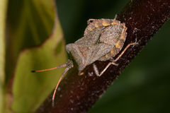 Dock leaf bug, coreus marginatus Royalty Free Stock Image