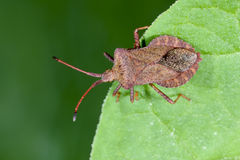 Dock leaf bug, coreus marginatus Stock Photo