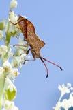 Dock leaf bug, coreus marginatus Stock Photos