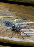 Dock or Fishing Spider - Dolomedes. The Dock spider is commonly found in cottage country throughout Canada and the United States. It belongs to the Pisauridae royalty free stock photo