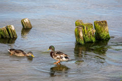 Dock with stones and ducks Stock Photography
