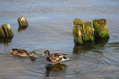 Dock with stones and ducks Stock Images