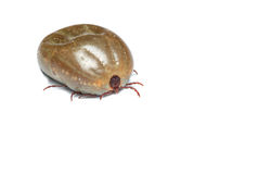 The dock tick. Macro close-up of female tick on a white background Royalty Free Stock Photography