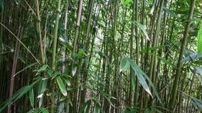Docka av den hawaianska bambuskogen - 4K - 4096x2304 arkivfilmer