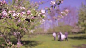 Docka som skjutas av blomstra för äppleträd stock video