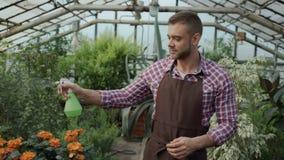 Dockaskott av den attraktiva manträdgårdsmästaren i förkläde som bevattnar växter och blommor med den trädgårds- sprejaren i växt stock video