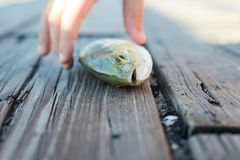 Docked fish. A lone fish on a wooden doc with a child`s hand approaching it royalty free stock photography