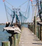 At the docks. Pelicans at the fishing docks of Snead`s Farrey royalty free stock images