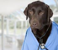 Docteur de Labrador de chocolat avec le stéthoscope Photo libre de droits