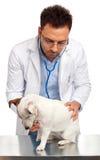 Docteur vétérinaire avec le cric Russell photo stock
