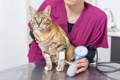 Docteur vétérinaire vérifiant la tension artérielle d'un chat images libres de droits