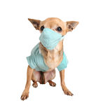 Doctor. A dog dressed in doctor scrubs Stock Image