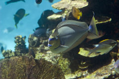 Doctor. Surgeonfish (Acanthurus olivaceus) swimming over coral reef Stock Images