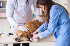Doctor and assistant checking up golden retriever dog in vet cli. Nic stock photos