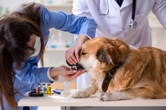 Doctor and assistant checking up golden retriever dog in vet cli. Nic royalty free stock image