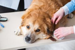 Doctor and assistant checking up golden retriever dog in vet cli. Nic royalty free stock photo