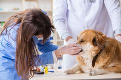 Doctor and assistant checking up golden retriever dog in vet cli. Nic royalty free stock photos