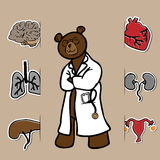 Doctor bear and organs Stock Image