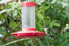 Doctor bird, female Royalty Free Stock Image