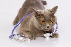Doctor and a British cat on white background Stock Photo