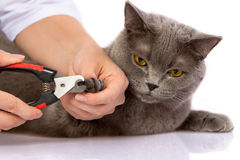 Doctor and a British cat on white background stock photos