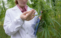Doctor checking cannabis flowers. Female doctor with clipboard testing cannabis sativa flowers in the field Royalty Free Stock Image