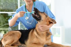Doctor cleaning dog`s teeth with toothbrush indoors. stock images