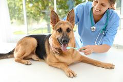Doctor cleaning dog`s teeth with toothbrush indoor stock photos