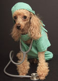 Doctor Dog. A poodle dressed up as a doctor wearing scrubs and a stethoscope isolated on a gray background royalty free stock photography