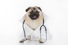 Doctor Dog. Funny dog in white lab coat and stethoscope sitting on white royalty free stock images