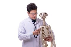 The doctor with dog skeleton isolated on white background. Doctor with dog skeleton isolated on white background stock photography