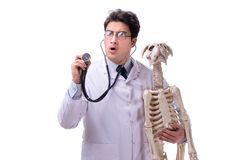 The doctor with dog skeleton isolated on white background. Doctor with dog skeleton isolated on white background royalty free stock photography
