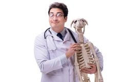 The doctor with dog skeleton isolated on white background. Doctor with dog skeleton isolated on white background royalty free stock images