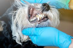 Doctor examines a dog`s teeth. Dog tartar, dental disease in a dog, veterinarian`s hands, latex gloves, oral hygiene of dog, sic stock image