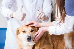 The doctor examining golden retriever dog in vet clinic. Doctor examining golden retriever dog in vet clinic royalty free stock images