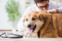 The doctor examining golden retriever dog in vet clinic. Doctor examining golden retriever dog in vet clinic royalty free stock photo