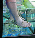 Doctor fish - fisha spa Royalty Free Stock Photography